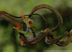 red-eyed-treefrog-copyright-photographers-on-safari-com-8058