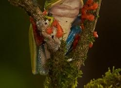 red-eyed-treefrog-copyright-photographers-on-safari-com-8062