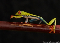 red-eyed-treefrog-copyright-photographers-on-safari-com-8063