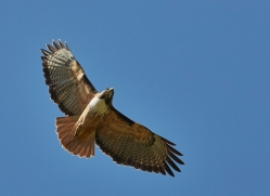 red-tailed-hawk-copyright-photographers-on-safari-com-8068
