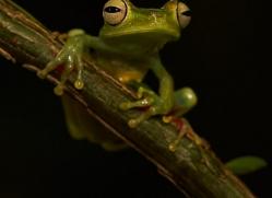 red-webbed-treefrog-copyright-photographers-on-safari-com-8069