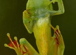 red-webbed-treefrog-copyright-photographers-on-safari-com-8070
