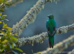 resplendent-quetzal-5114-copyright-photographers-on-safari-com