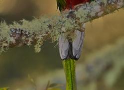 resplendent-quetzal-5115-copyright-photographers-on-safari-com