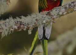 resplendent-quetzal-5116-copyright-photographers-on-safari-com