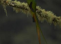 resplendent-quetzal-copyright-photographers-on-safari-com-8072