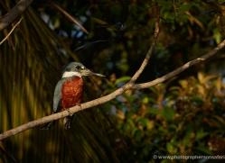 ringed-kingfisher-5192-copyright-photographers-on-safari-com