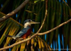 ringed-kingfisher-5193-copyright-photographers-on-safari-com