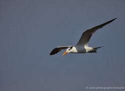 royal-tern-5213-copyright-photographers-on-safari-com
