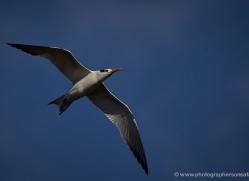royal-tern-5214-copyright-photographers-on-safari-com