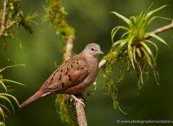ruddy-ground-dove-5304-copyright-photographers-on-safari-com