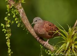 ruddy-ground-dove-5306-copyright-photographers-on-safari-com