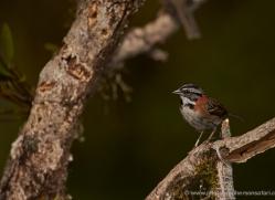 rufous-collared-sparrow-5282-copyright-photographers-on-safari-com