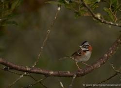 rufous-collared-sparrow-5283-copyright-photographers-on-safari-com