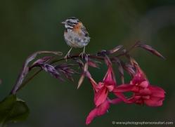 rufous-collared-sparrow-5284-copyright-photographers-on-safari-com