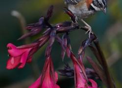rufous-collared-sparrow-5285-copyright-photographers-on-safari-com