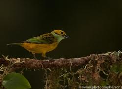 silver-throated-tanager-copyright-photographers-on-safari-com-8073