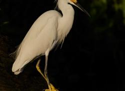 snowy-egret-5249-copyright-photographers-on-safari-com