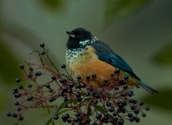 spangled-cheeked-tanager-copyright-photographers-on-safari-com-8074