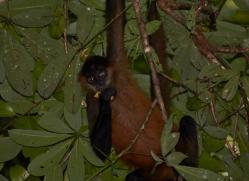 spider-monkey-5178-copyright-photographers-on-safari-com