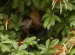 spider-monkey-copyright-photographers-on-safari-com-8075