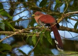 squirrel-cuckoo-5317-copyright-photographers-on-safari-com