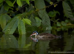 sungrebe-5176-copyright-photographers-on-safari-com