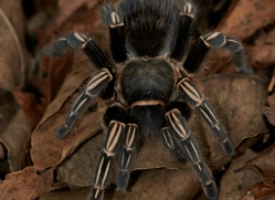 tarantula-5122-copyright-photographers-on-safari-com