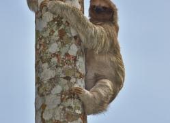 three-toed-sloth-5034-copyright-photographers-on-safari-com