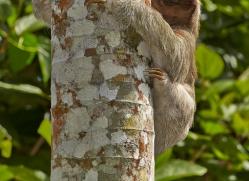 three-toed-sloth-5035-copyright-photographers-on-safari-com