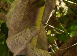 three-toed-sloth-5036-copyright-photographers-on-safari-com