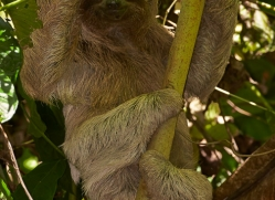 three-toed-sloth-5037-copyright-photographers-on-safari-com