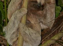three-toed-sloth-5038-copyright-photographers-on-safari-com