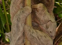 three-toed-sloth-5039-copyright-photographers-on-safari-com