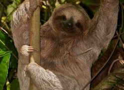 three-toed-sloth-5040-copyright-photographers-on-safari-com