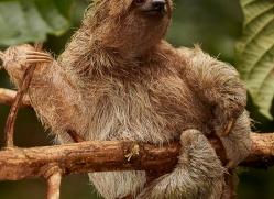 three-toed-sloth-copyright-photographers-on-safari-com-8077