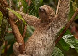 three-toed-sloth-copyright-photographers-on-safari-com-8078