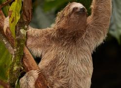 three-toed-sloth-copyright-photographers-on-safari-com-8079