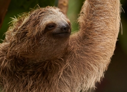 three-toed-sloth-copyright-photographers-on-safari-com-8080