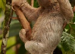 three-toed-sloth-copyright-photographers-on-safari-com-8081