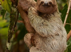 three-toed-sloth-copyright-photographers-on-safari-com-8082