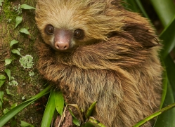 two-toed-sloth-5032-copyright-photographers-on-safari-com