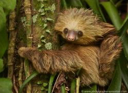 two-toed-sloth-5033-copyright-photographers-on-safari-com