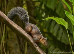 variegated-squirrel-5204-copyright-photographers-on-safari-com