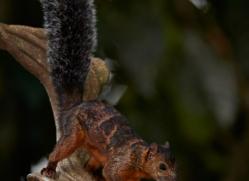 variegated-squirrel-5206-copyright-photographers-on-safari-com