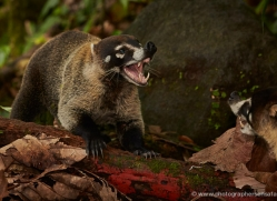 white-nosed-coati-5086-copyright-photographers-on-safari-com