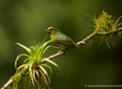 yellow-crowned-euphonia-5295-copyright-photographers-on-safari-com