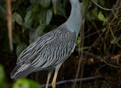yellow-crowned-night-heron-5250-copyright-photographers-on-safari-com