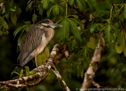 yellow-crowned-night-heron-copyright-photographers-on-safari-com-8084