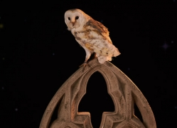 barn-owl-copyright-photographers-on-safari-com-8837
